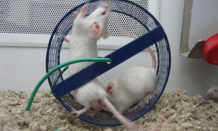 'Sportpil' verhoogt uithoudingsvermogen muizen zonder training