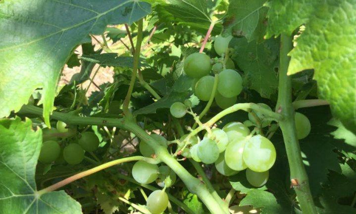 Vroege oogst, minder wijn en ook in Frankrijk krijgt klimaat de schuld