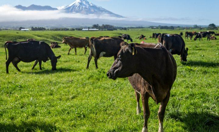 Regering Nieuw-Zeeland ruimt 150.000 koeien om een bacterie uit te roeien
