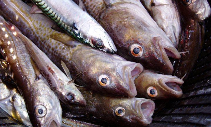 Opwarming oceanen treft Noordzeevis het hardst