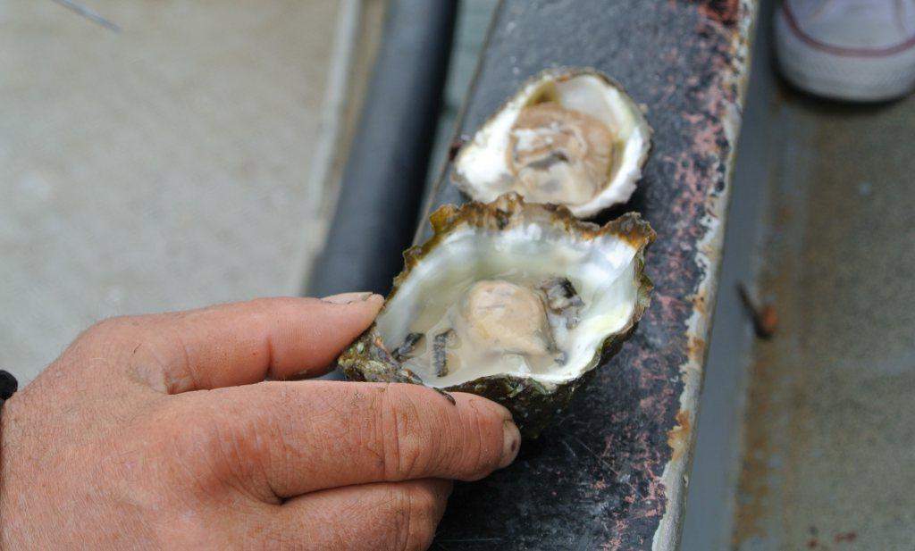 Grevelingenmeer in zuurstofnood, maar met de oesters gaat het goed