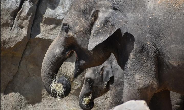 Vel-over-been olifanten, duur diervoeder betekent ook duurder menseneten