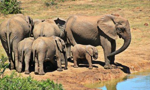 Stropers veroorzaken vrouwelijke olifanten zonder slagtanden