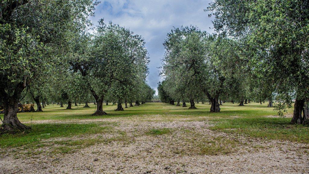 Laks en te laat bestrijdt Italië een olijfbomenziekte
