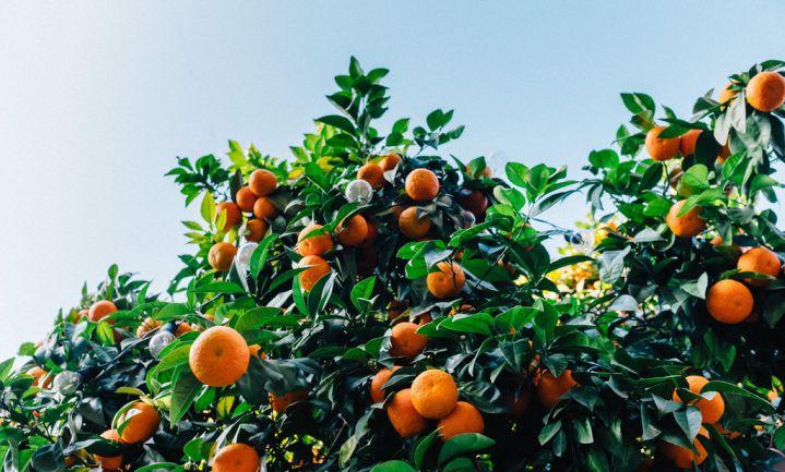 Bingo lost 'citrusziekte' op