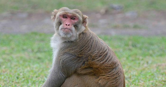 Calorierestrictie laat apen niet ouder worden