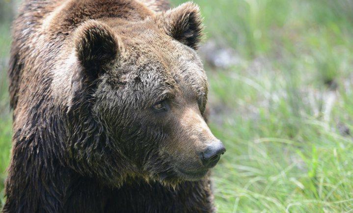 Franse schapenboeren willen onmiddellijk van net uitgezette beren af