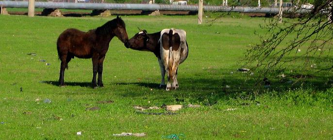 Fransen tonen aan: 67% Nederlandse rundvleessnippers vermengd met paard