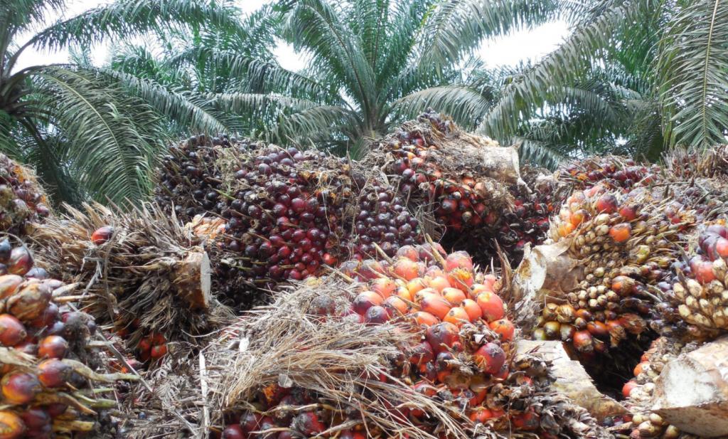 Economische groei en klimaatvriendelijkere palmolieproductie hoeven elkaar niet te bijten