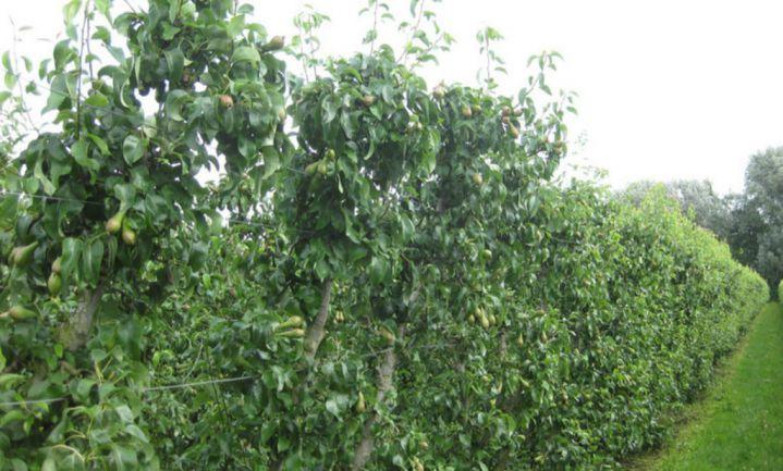 België vernietigt 25.700 ton appels en peren