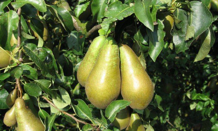 Fruittelers verruilen appels voor peren