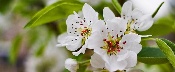 Fruitbloesem beschermen tegen nachtvorst