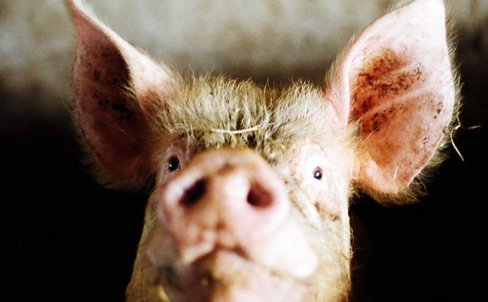 Schoutens plan voor de varkenshouderij: nieuwe techniek, saneringen en mondiaal voortrekker blijven