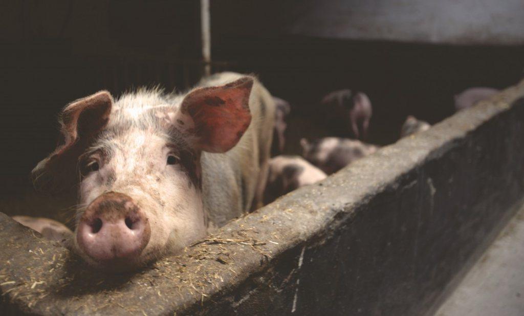 Sanering varkenshouderij inmiddels 'duurste maatregel uit het Klimaatakkoord'