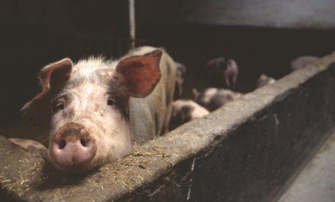 Duitse boeren blij met dumpprijzen voor varkensvlees bij Aldi en Lidl