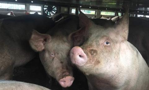 'Cameratoezicht in slachthuis juist wel zinnig om verkeerd behandelen van dieren tegen te gaan'
