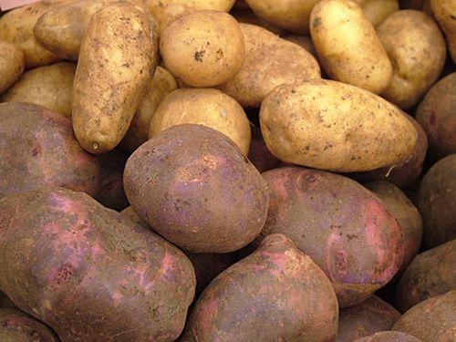 VS staan fytoftora-resistente GMO-aardappelen toe