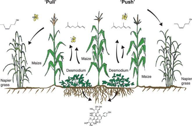 'Push-pull' landbouwmethode verdrievoudigt opbrengst