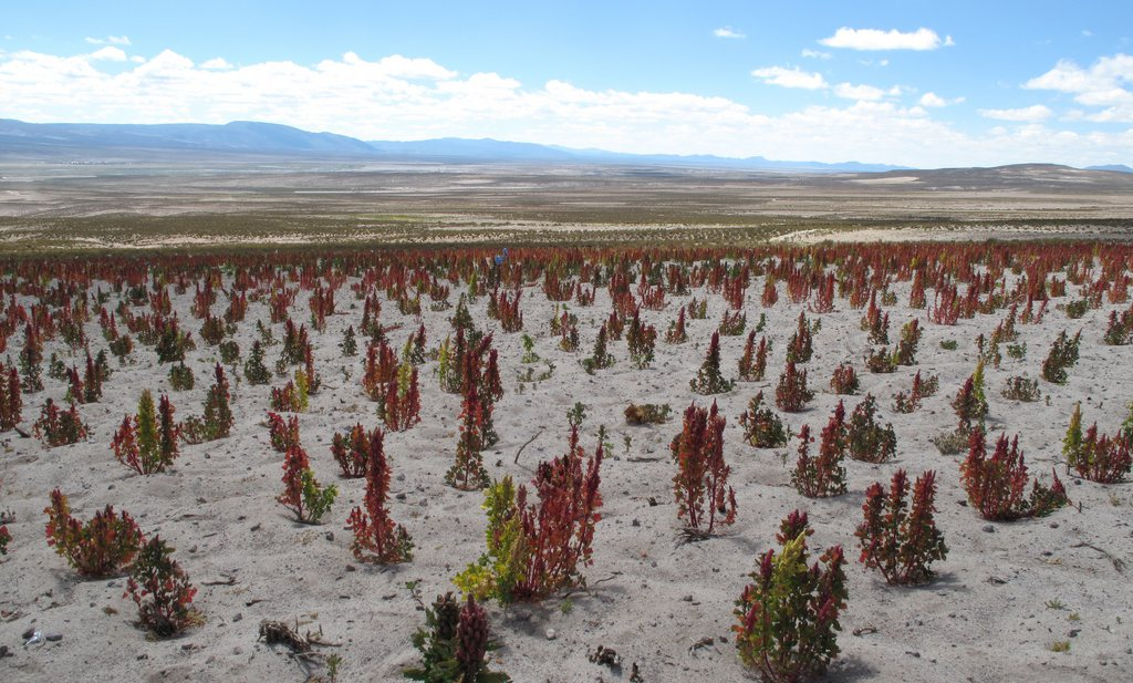Quinoa of Arabia