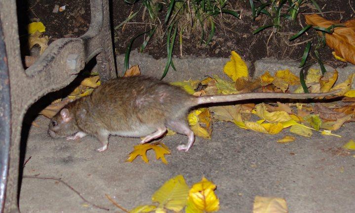Stadse ratten in NY te groot en slim voor verwilderde katten