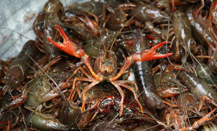 Binnenvissers kunnen het rivierkreeftjesprobleem prima aan, als het maar mocht