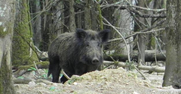 Boerenbestuurder wil afschot Brabantse wilde zwijnen