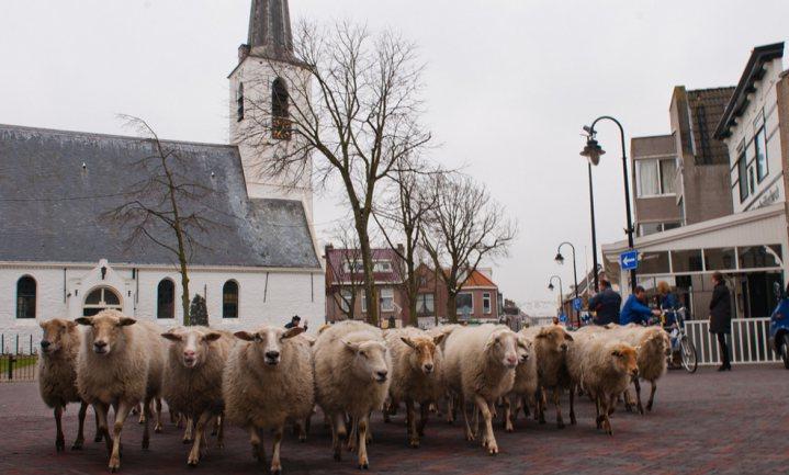 Nederlandse schaapskudden trekken de stad in