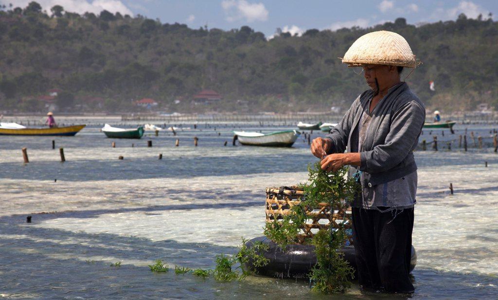 Groeiende vraag naar zeewier vraagt om beleid