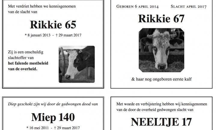Rouw om door 'shitbeleid' gedode koeien