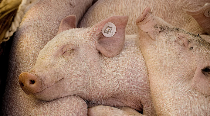 Eerste Franse varkenshouderij stopt met castratie