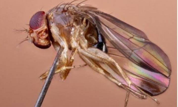 Fruitsector: nieuwe pestsoort rukt op in Europa