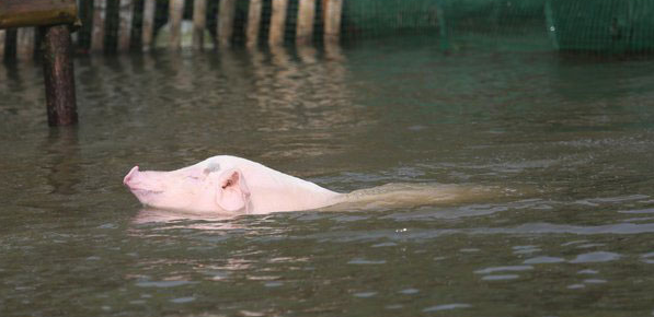 Zwemvarken levert drie keer zoveel op