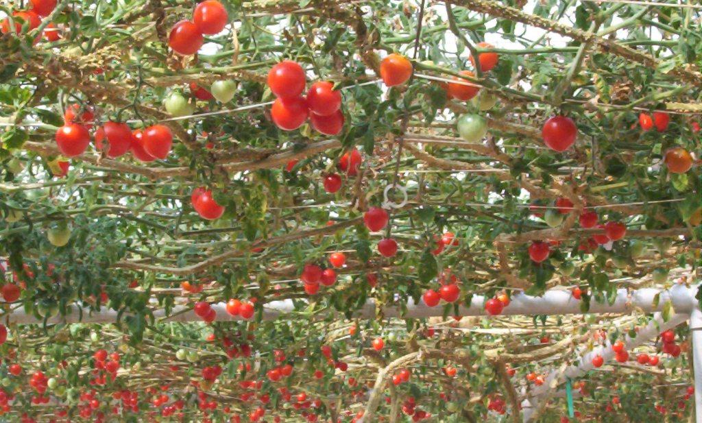 'Slechte tomatenprijs alweer voorbij'