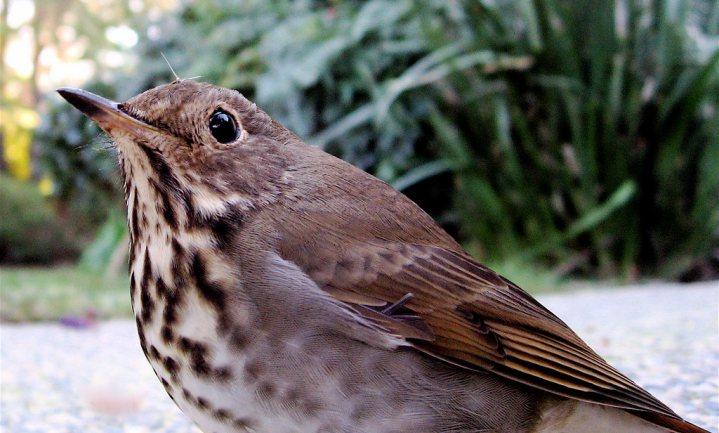 Alarmerende daling aantal vogels in Noord-Amerika