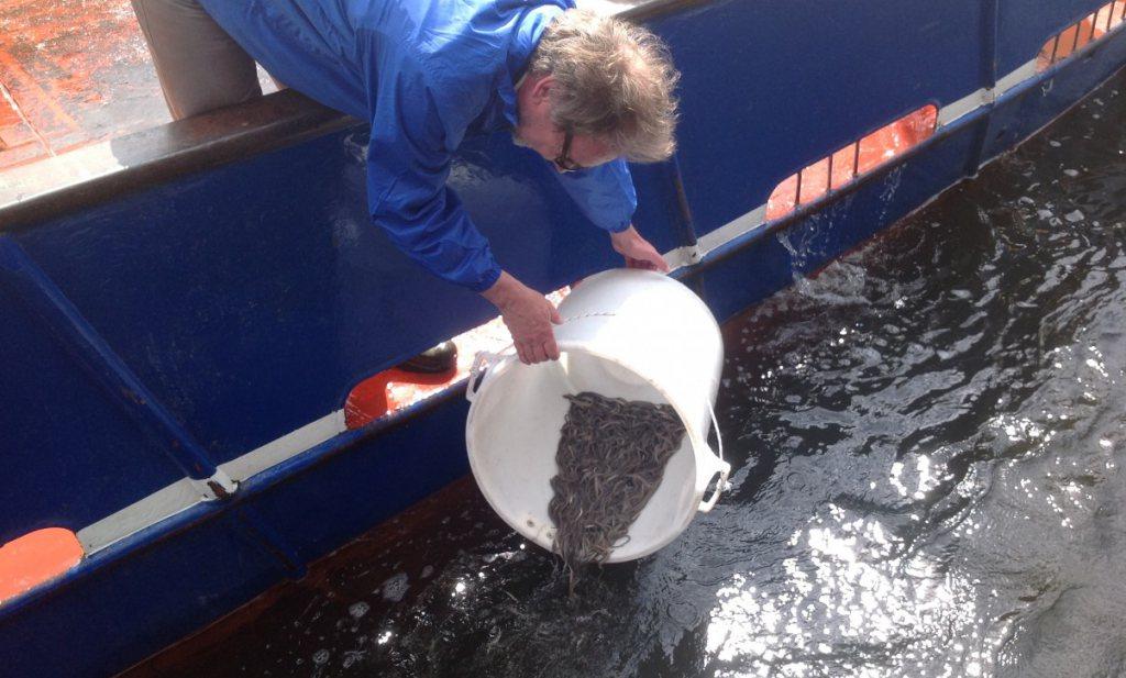 Volendams bedrijf wil palinglarven 'aan het eten krijgen'