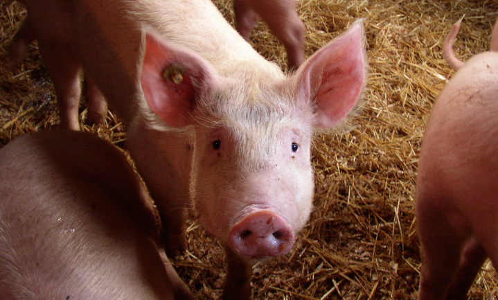Is hoog welzijn Nederlands varken een mythe?
