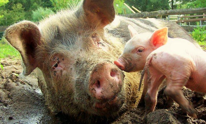 Varkenshouders zijn Kamervragen alvast voor