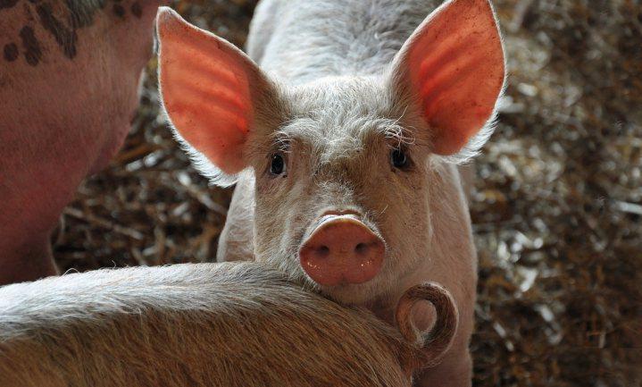 Waarom het fout ging bij de Belgische varkensslachter