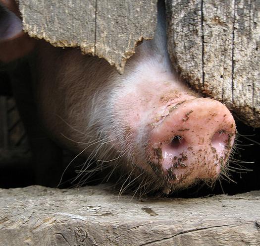 Straks ook Roemeens varken?