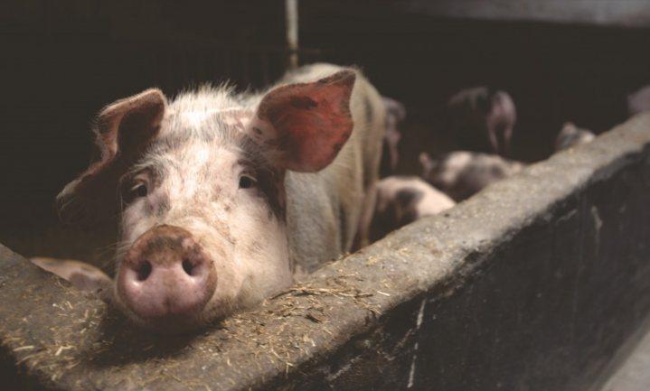 China vestigt varkens weer naast de stad