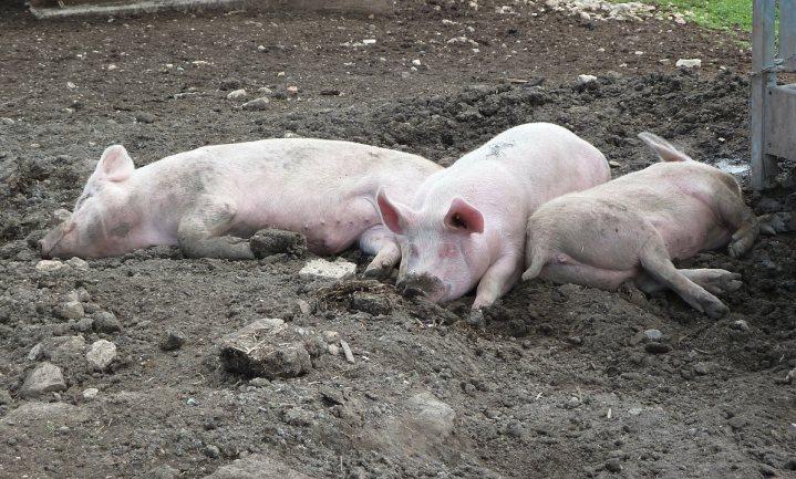 Vanaf 2006 veel meer koeien op stal, aantal varkens neemt af