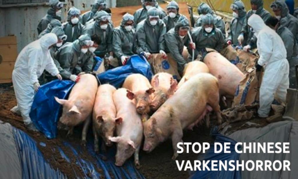 Varkens in Nood wil Nederlandse actie tegen wrede ruimingen Chinese varkens