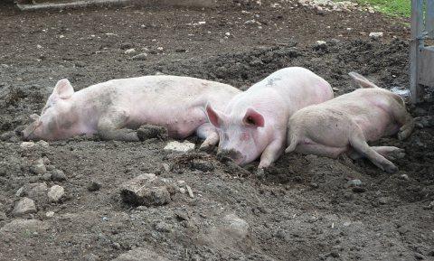 Afrikaanse varkenspest treft als eerste biologisch Duits varkensbedrijf