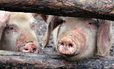 Varkensproductie China herstelt sneller dan verwacht