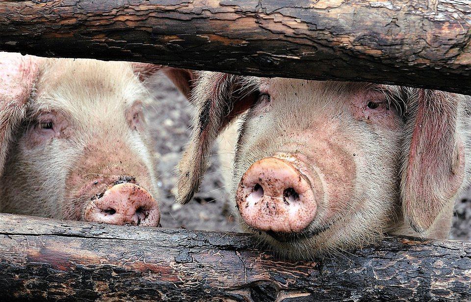 Afrikaanse varkenspest in China kan de wereldwijde vlees- én graanmarkt ontwrichten