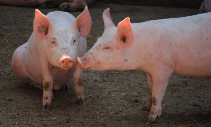 Naam en label kunnen gewoon varkensvlees 'aaibaar' maken