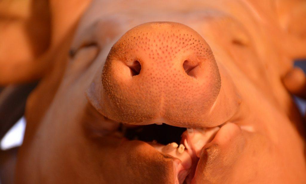 Hoge dollarkoers helpt Europese varkensboeren naar Azië