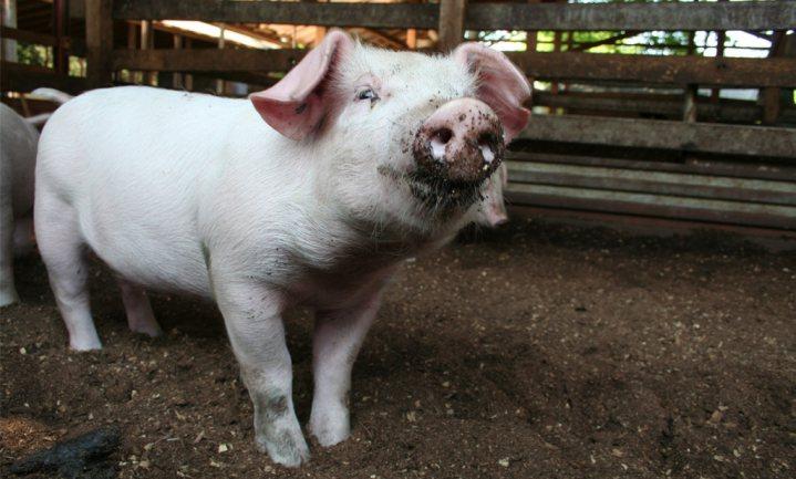 Initiative Tierwohl trekt 30% Duitse varkenshouders