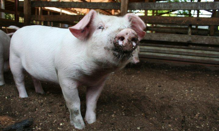 Magere varkens stinken minder
