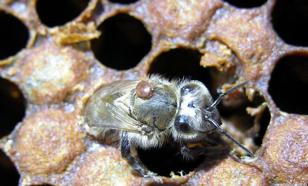 Eerste 'baseline study' biedt bijenhouders inzicht in bijenziekten